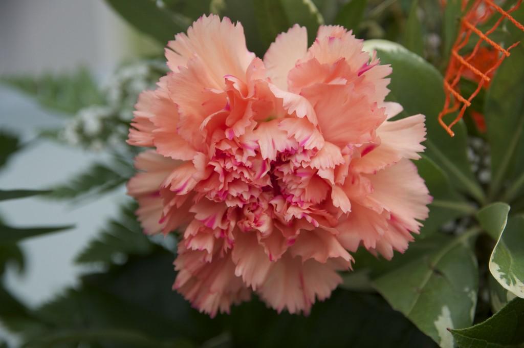 rosa Nelke (Makro)