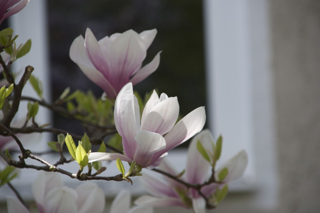 Magnolia weiß