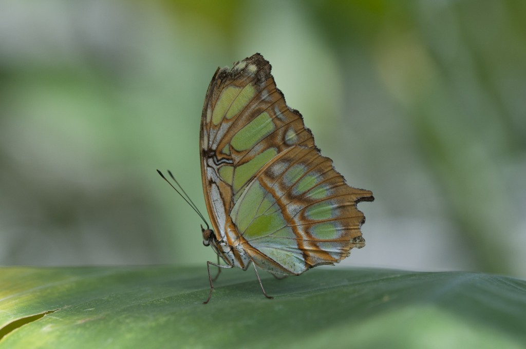 Schmetterling in grün