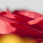 Rosenblüte Makro